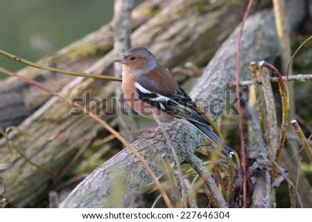An Adult Male Chaffinch perching on a fallen tree branch - stock photo