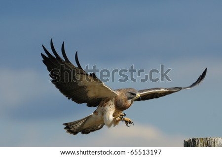 An adult male Swainson's hawk in flight and about to land on a fence post. - stock photo