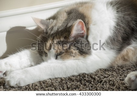 An adult muted calico cat sleeping on carpeting next to a wall in a home. - stock photo