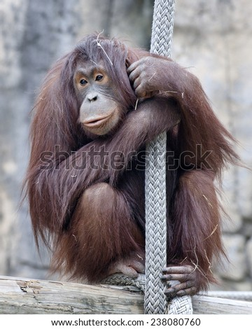 An adult orangutan hanging on to a broad rope. - stock photo