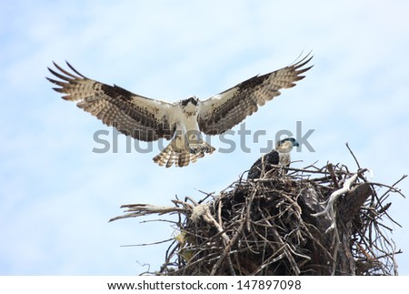 An adult Osprey lands on it's nest with it's baby osprey waiting patiently