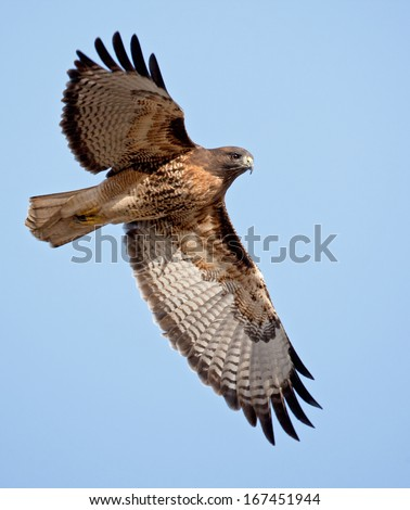 An adult red-tailed hawk flies into the sun on a bright blue sky day - stock photo