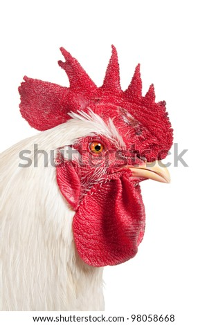 An adult rooster on white background. isolated - stock photo