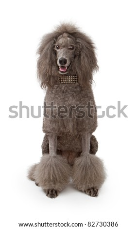 An adult standard Poodle dog sitting down on a white background wearing a designer studded collar. - stock photo