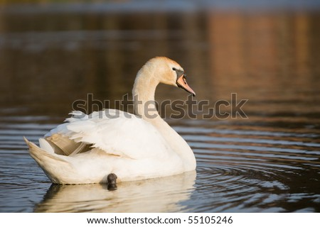 An adult swan swimming in a pond