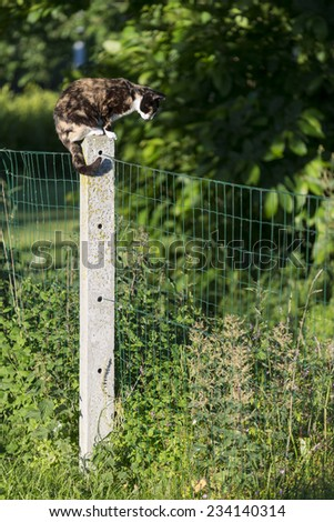 An adult tortoise-shell female cat prowling perched on a concrete post between two gardens. Outdoors portrait of domestic cat. Color image - stock photo