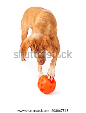 An adult Vizsla breed dog with her paw on an orange ball shaped toy that she has her paw on - stock photo