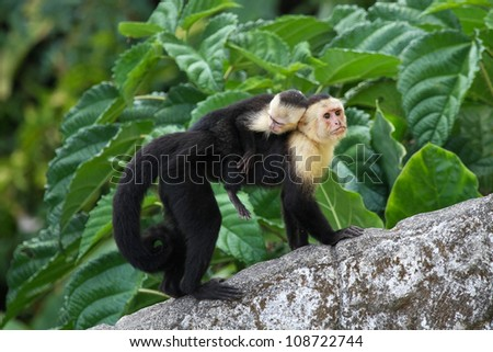 An adult white-faced capuchin monkey in Costa Rica carrying a baby on it's back. - stock photo