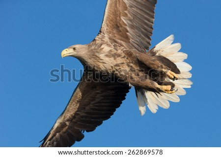 An adult White-tailed sea eagle soaring against a vivid blue winter sky. - stock photo