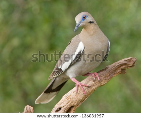An adult White-winged Dove (Zenaida asiatica) perched on a tree branch in west central Texas