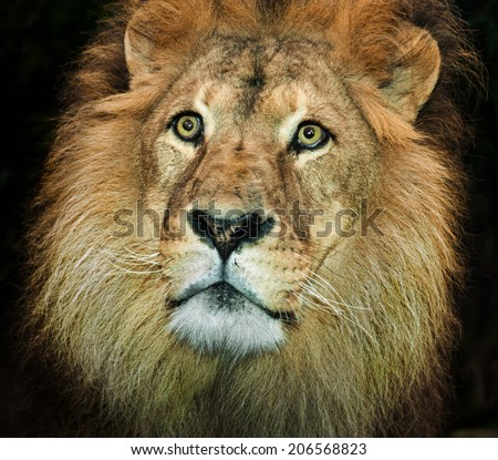An Africa lion portrait on a black background head only