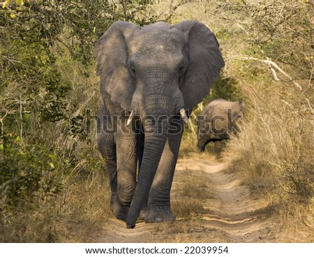 An African bull elephant (loxodonta africana) walking down a narrow dirt road is alertly watching our vehicle. African elephants are the largest land mammals on the earth today and are endangered.