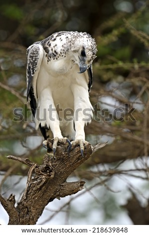 An African Eagle perched on an acacia tree - stock photo