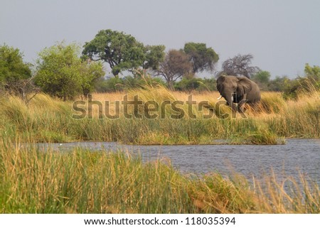 An african elephant bull feeding in the reeds of mamili national park, caprivi - stock photo