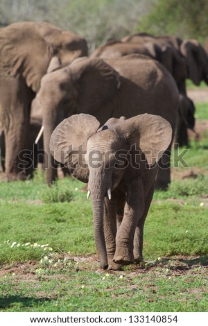 An African elephant calf flaps its ears