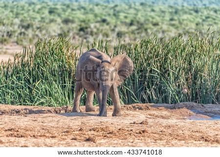 An African Elephant calf, Loxodonta africana, drinking water - stock photo