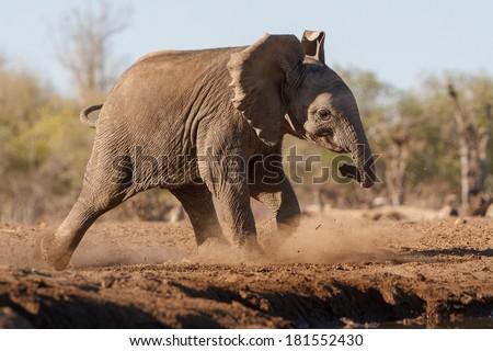 An african elephant calf runs through the dust towards a waterhole during a drought in Botswana - stock photo
