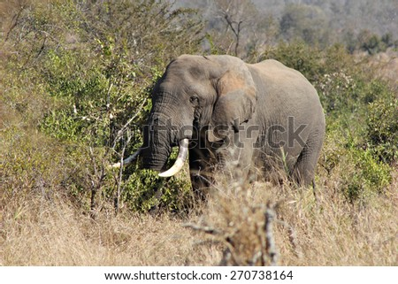 An African Elephant emerges from the bush in a game reserve. - stock photo