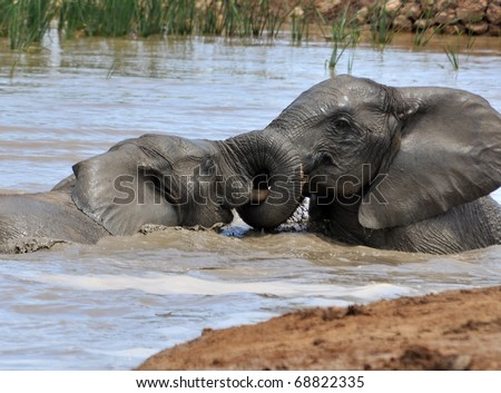 An African Elephant family in the Addo Elephant Park, South Africa. - stock photo
