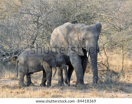 An African Elephant family in the Kruger National Park, South Africa.