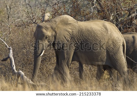 An African Elephant (Loxodonta africana) walking in natural setting, Hluhluwe Game Reserve, South Africa - stock photo
