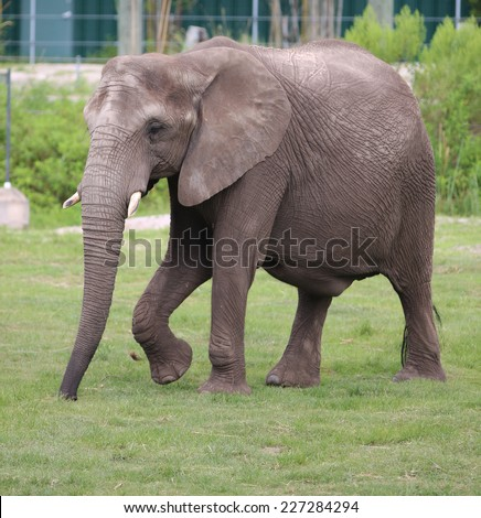An African Elephant (Loxodonta Africana) with Tusk Showing Inside a Zoo Enclosure.  - stock photo