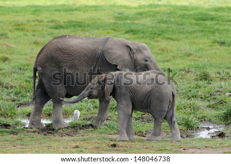 An African elephant mom walking together with her cute little baby