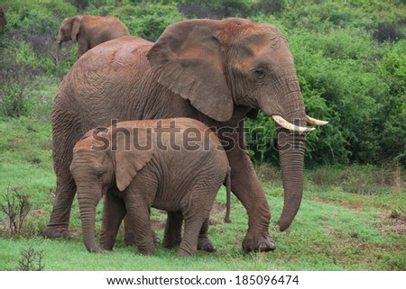 An African elephant mother and calf - stock photo
