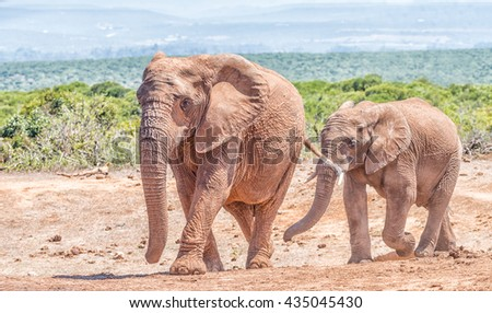 An African Elephant mother and large calf, Loxodonta africana, walking - stock photo