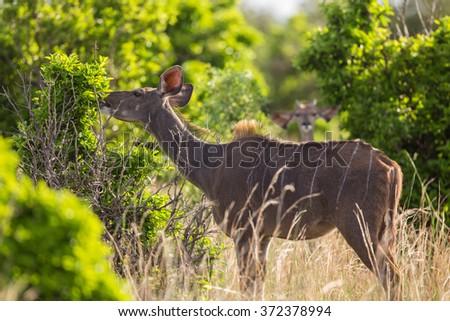 An African female Kudu antelope eating leaves - stock photo