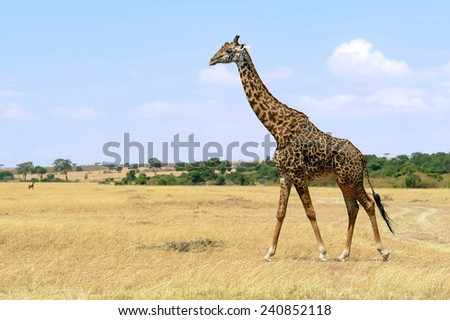 An African Giraffe(Giraffa camelopardalis) on the Masai Mara National Reserve safari in southwestern Kenya. - stock photo