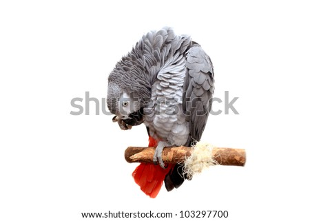An African Grey Parrot isolated on a white background - stock photo