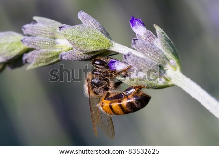 An african honey bee collecting pollen from a flower - stock photo