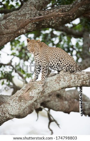 An african leopard sitting in tree, Serengeti National Park, Tanzania.