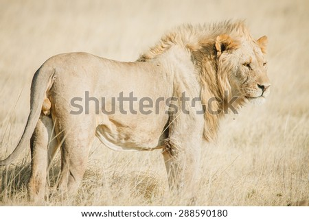 An African male lion on the savanna in Africa with warm colors - stock photo