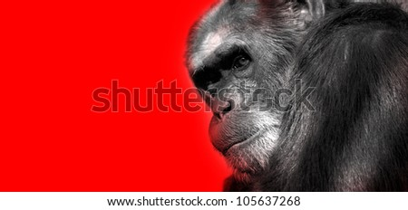 An African monkey in captivity at the zoo - stock photo