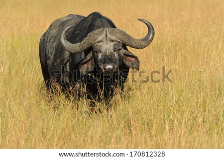 An African or CapeBuffalo (Syncerus caffer) in the Masai Mara National Reserve safari in southwestern Kenya. - stock photo