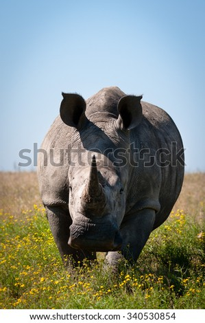 An African rhino is charging the viewer on a safari. - stock photo