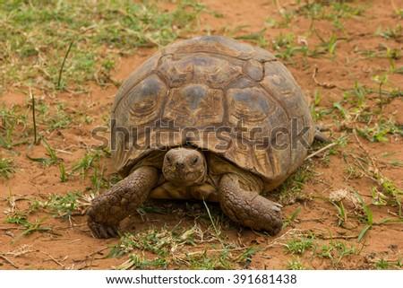 An African spurred tortoise at Crocworld in Scottburgh - KwaZulu-Natal South Africa - stock photo