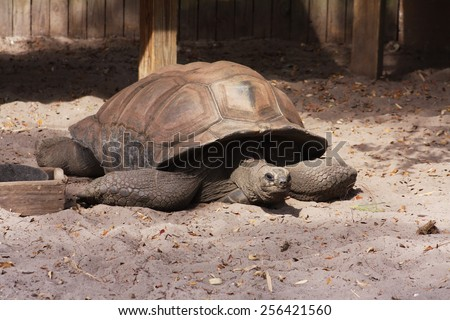 An African Spurred Tortoise (Geochelone Sulcata) in a Zoo Enclosure. - stock photo