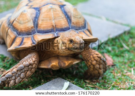 An African Spurred Tortoise looks skeptical at its feeder - stock photo