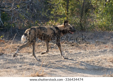 An African wild dog participating in a hunt in Sabi Sands Game Reserve in greater Kruger National Park, South Africa.