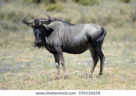 An African Wildebeest in an open field - stock photo