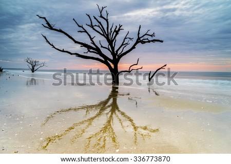 An aged, weathered oak tree lingers on the Edisto Island beach at Botany Bay, near Charleston, SC.     - stock photo