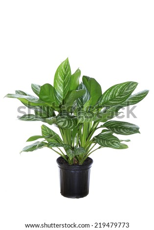 An Agleonema Stripe Interior Potted Plant Isolated on White