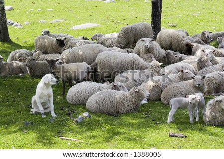 an akbash sheep dog protecting the herd