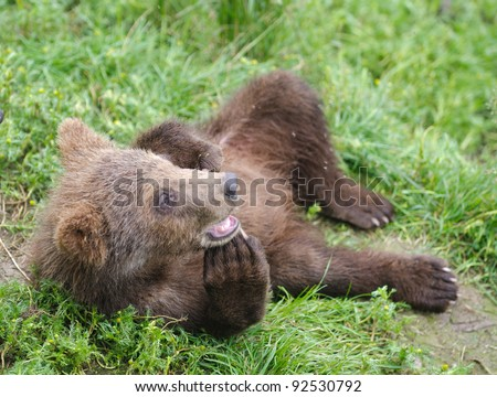 An Alaskan brown bear cub relaxing on the bank of a river in Katmai National Park - stock photo