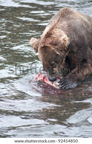An Alaskan brown bear fishing for salmon at Brooks Falls in Katmai National Park