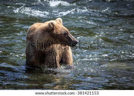 An Alaskan brown bear searches for salmon in Brooks River.