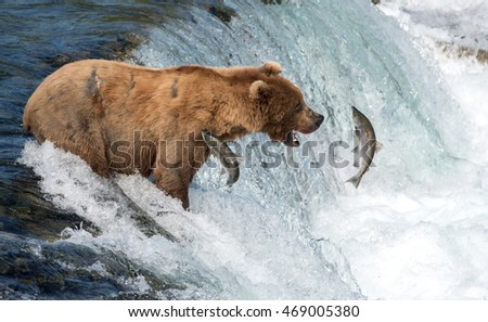 An Alaskan brown bear tries to catch sockeye salmon at Brooks Falls in Katmai National Park, Alaska